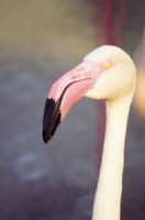 Flamingo picture PH7444167