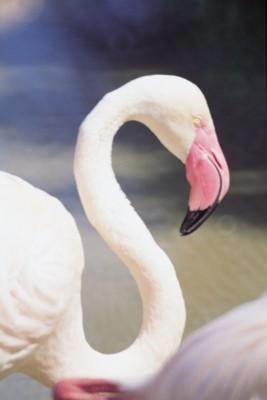 Flamingo poster PH7444207
