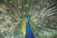 Peacock picture PH7444866