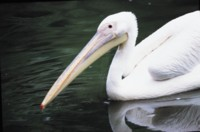 Pelican picture PH7445718