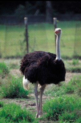 Ostrich poster PH7445898
