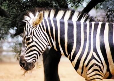Zebra poster PH7446485