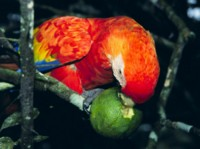 Macaw picture PH7450756