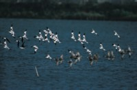 Avocets picture PH7457824