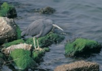 Heron picture PH7459514