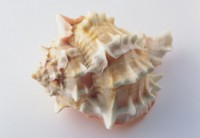Seashell picture PH7483566