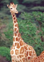 Giraffe picture PH7492909