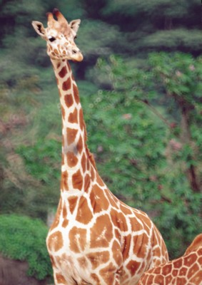 Giraffe poster PH7492824