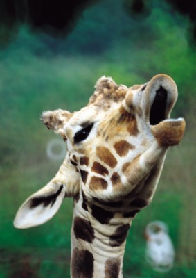 Giraffe poster PH7492909