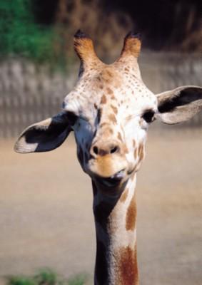 Giraffe poster PH7492954