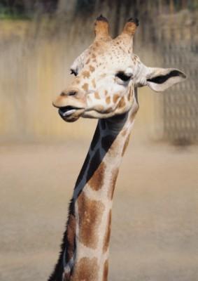 Giraffe poster PH7492997