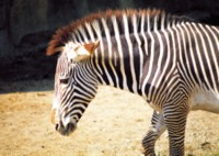 Zebra picture PH7792863