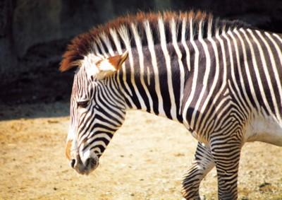Zebra poster PH7494872