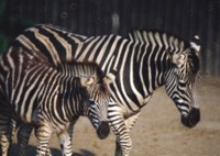Zebra picture PH7800363