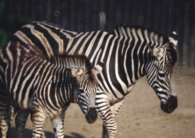 Zebra poster PH7494895