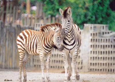 Zebra poster PH7494914