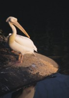 Pelican picture PH7495368