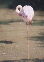 Flamingo picture PH9830088
