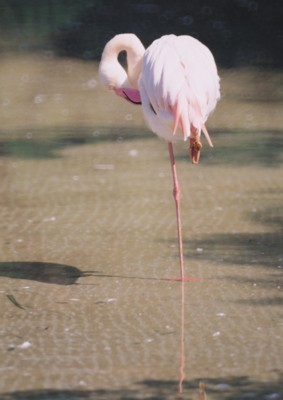Flamingo poster PH7495485