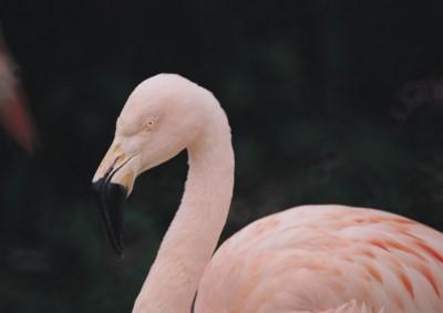 Flamingo poster PH7495529