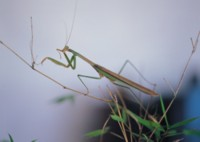 Praying Mantis picture PH7496284