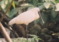 Spoonbill picture PH7496735