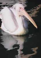 Pelican picture PH7496871