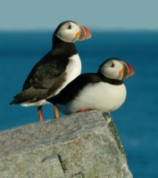 Puffins picture PH7511368