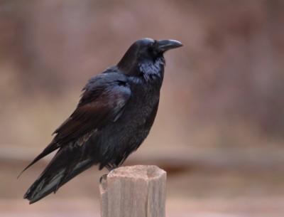 Raven & Crow poster PH7621011
