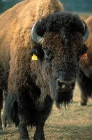 Buffalo & Bison picture PH7644742
