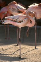 Flamingo picture PH7644881