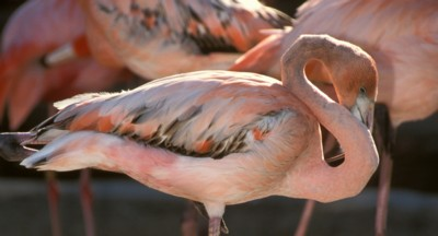 Flamingo poster PH7644881