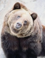 Brown Bear picture PH7648492