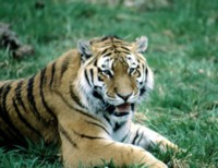 Tiger picture PH7800636