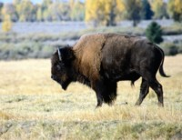 Buffalo & Bison picture PH7648975