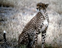 Cheetah picture PH7649094