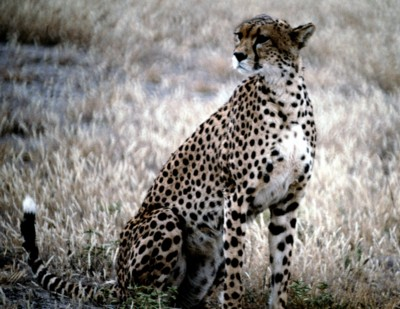 Cheetah poster PH7649094