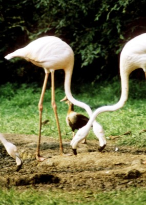 Flamingo poster PH7710966