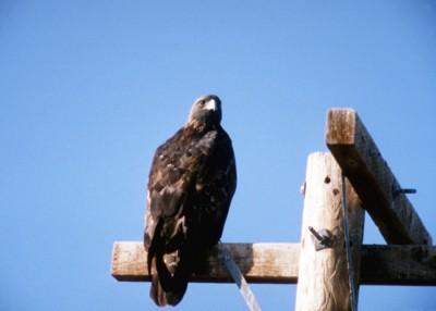 Eagle poster PH7711855