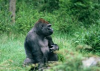 Gorilla picture PH7712219