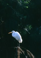 Egret picture PH7712874