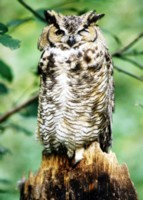 Owl picture PH7713029