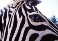 Zebra picture PH7312283