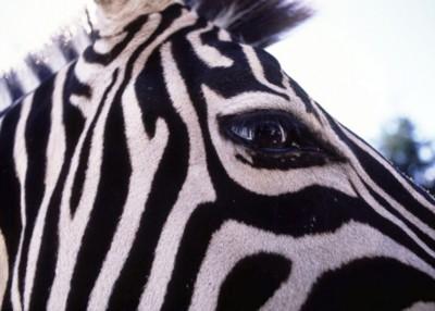 Zebra poster PH7714651