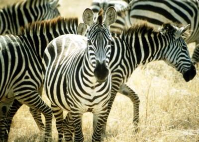 Zebra poster PH7714678
