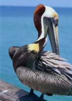 pelican picture PH7715466