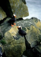 Puffins picture PH7716154