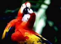 Parrot picture PH7716807