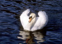swan picture PH7718392