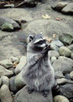Raccoon picture PH7719160